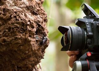 Penemuan,Lebah,Terbesar Didunia, Berlokasi, Di Indonesia, lebah raksasa, informasi lebah, lebah madu, pakar lebah, penelitian lebah, penelitian, lebah indonesia, lebah raksasa, lebah aneh, news, berita, serangga, dilindungi 4