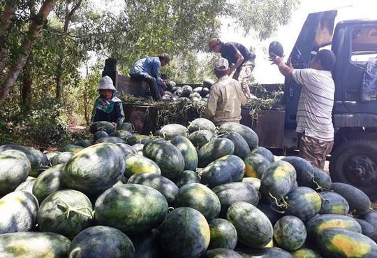 Sau giải cứu nông dân Quảng Ngãi lãi khủng với dưa hấu