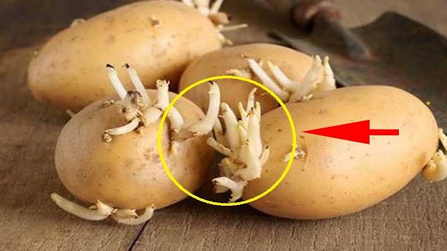 لهذا السبب.. إياك أن ترمي البطاطا عند ظهور براعم عليها!