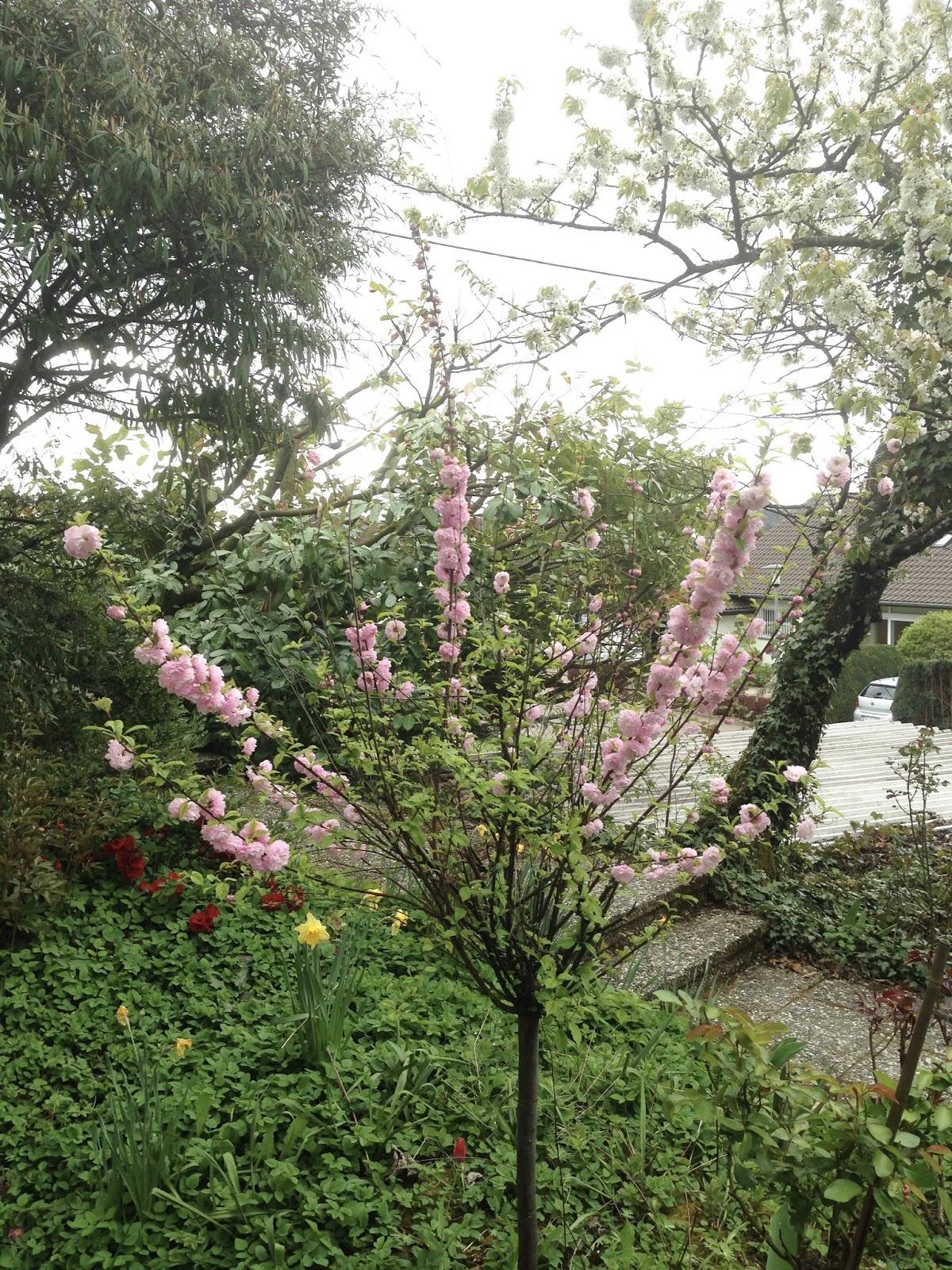 Blühender Mandelbaum vor unserem Haus
