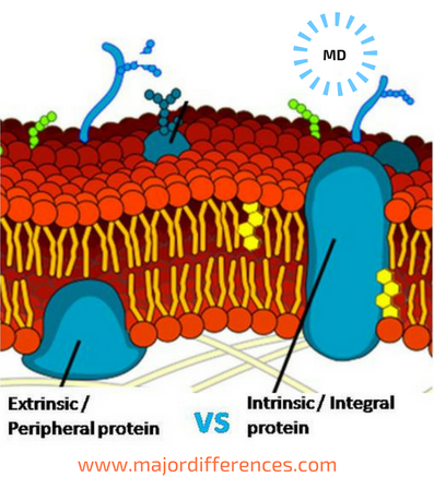 Intrinsic and Extrinsic Membrane Proteins