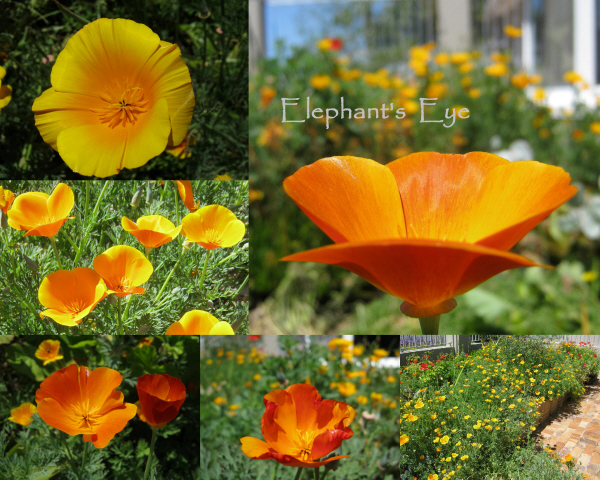 Californian poppies from ivory to russet thanks to a previous gardener