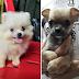 ขายลูกสุนัข ปอม ชิวาวา (ปิดการขายแล้ว)