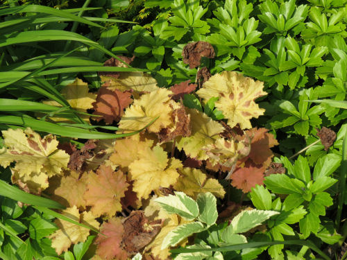 heuchera with golden leaves