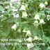 Đảng sâm,Codonopsis pilosula,COD00135