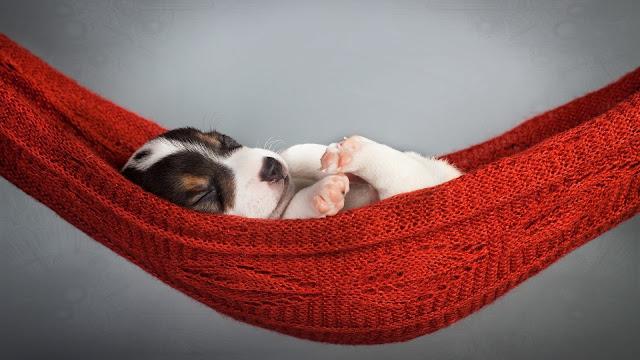 Cute-puppy-sleeping-in-hammock
