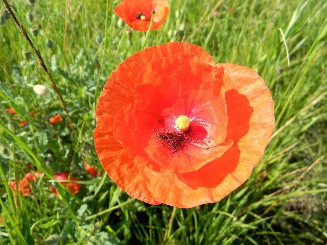 rośliny łąkowe, kwiaty polne, przyroda