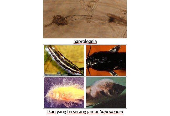 Gambar Penyakit Jamur pada Ikan Nila