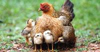 Resultado de imagem para galinhas