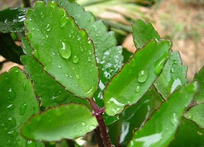 Cách chữa bệnh viêm họng bằng cây sống đời