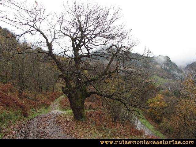 Ruta de las Xanas y Senda de Valdolayés: Castaño en senda Valdolayés