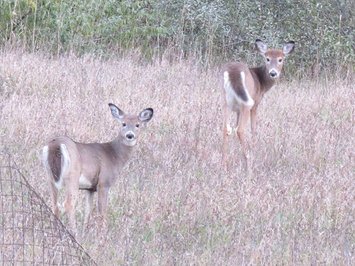 two young deer with winter coats