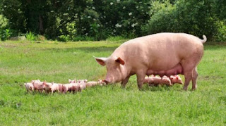 babi merupakan hewan haram dalam islam