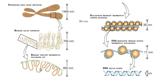 DNA didalam Kromosom