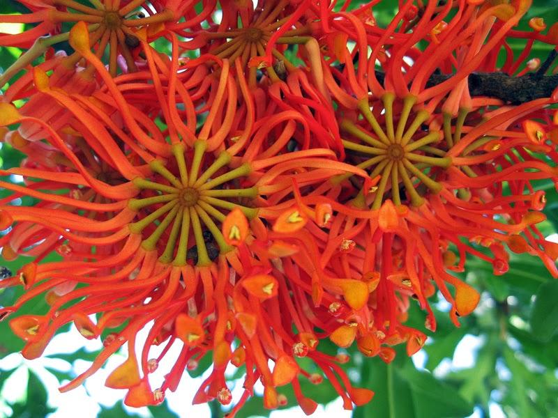THE FIREWHEEL TREE - Stenocarpus sinuatus |The Garden of Eaden