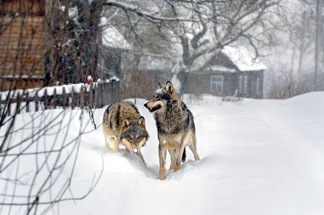 Нашествие волков на жилые дома в Кировской области