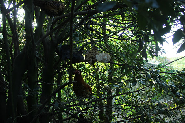 Organic chickens roosting in a bay tree