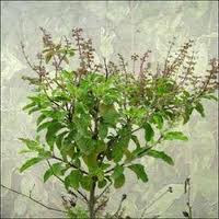 Find the benefits of Tulsi