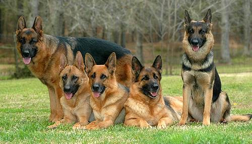 Everything about your German Shepherd