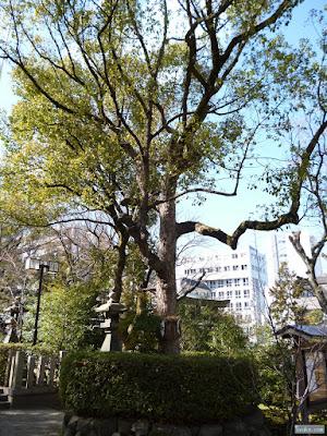 豊崎神社ご神木