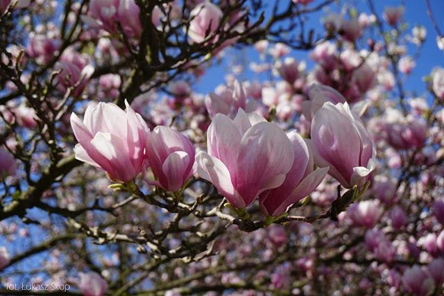 różowa magnolia