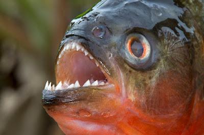 Cá Piranha có thực sự đáng sợ như mọi người vẫn nghĩ