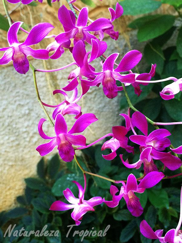Floración abundante de la orquídea Violeta, Dendrobium superbiens