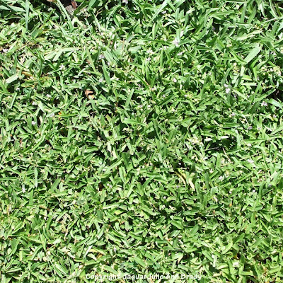 That mystery weed with tiny lavender-purple flowers takes over the yard