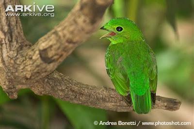Calyptomena viridis