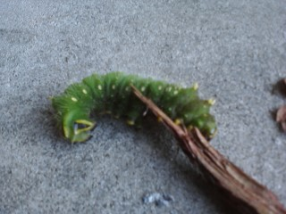 Large Fat Green Caterpillar