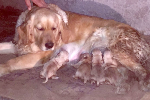 Golden Retriever In Chandigarh Jalandhar Punjab Star Dog