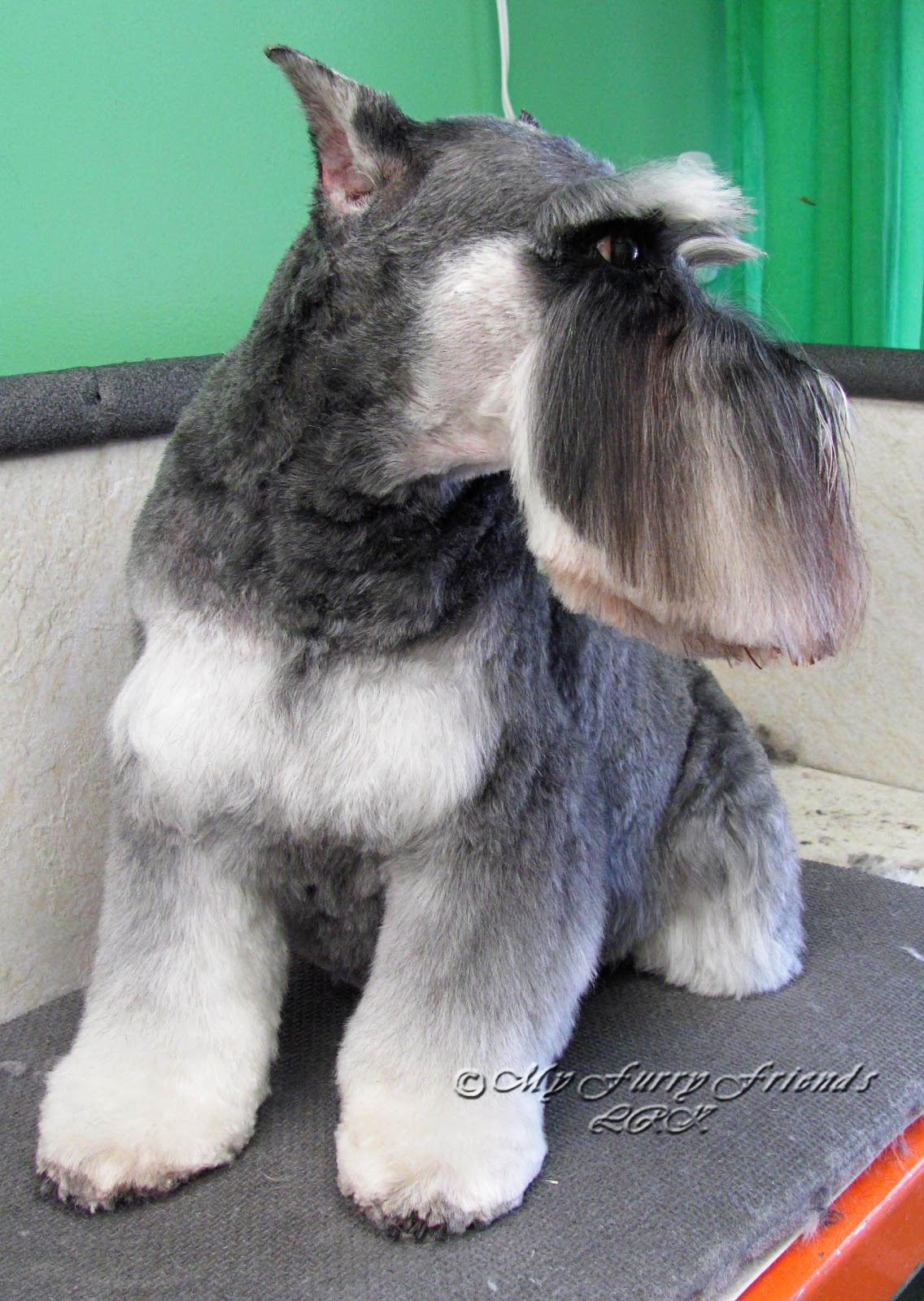 Pet Grooming The Good Bad Furry Diffe Looks Of A Schnauzer