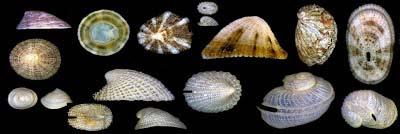 http://www.fotoconchigliemediterraneo.com/2013/02/in-allestimento-1-lottiidae-patellidae.html