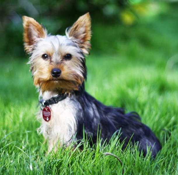 different yorkie breeds different types different types yorkie breeds 9655