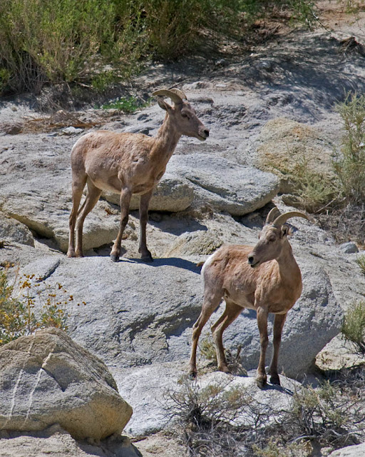 Desert Bighorn Sheep at Agua Caliente County Park