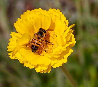 abeja terpenos