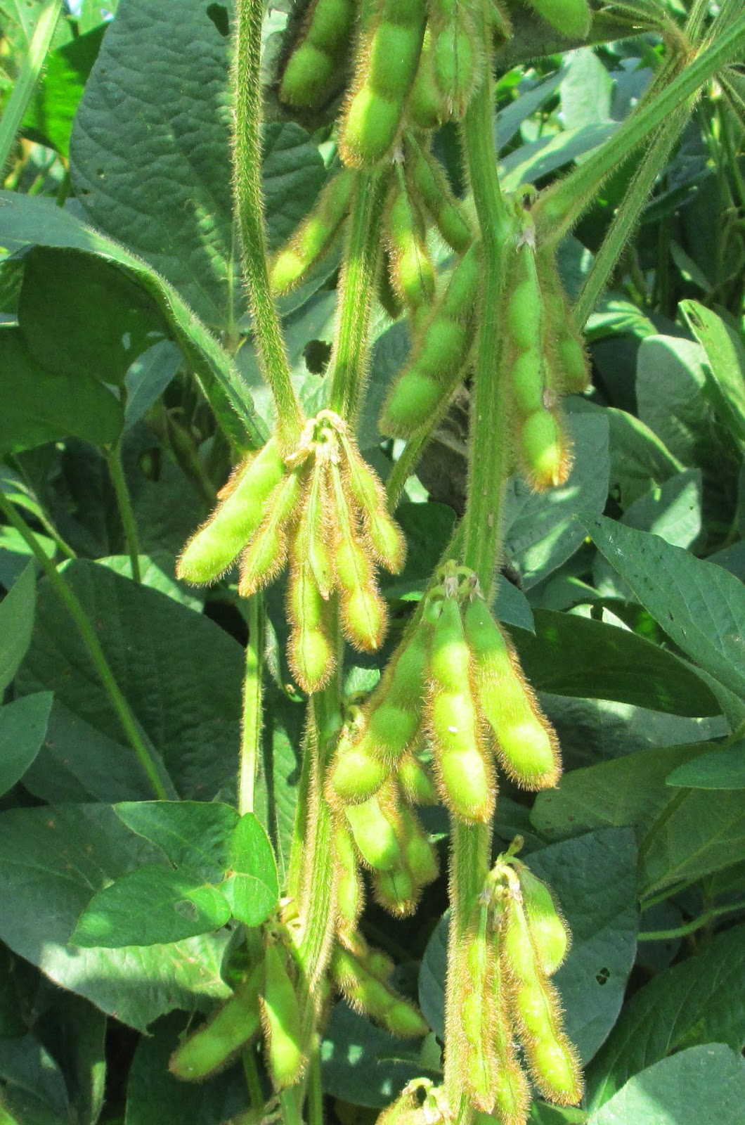 Grain Crops Update: Kentucky Intensive Soybean Management