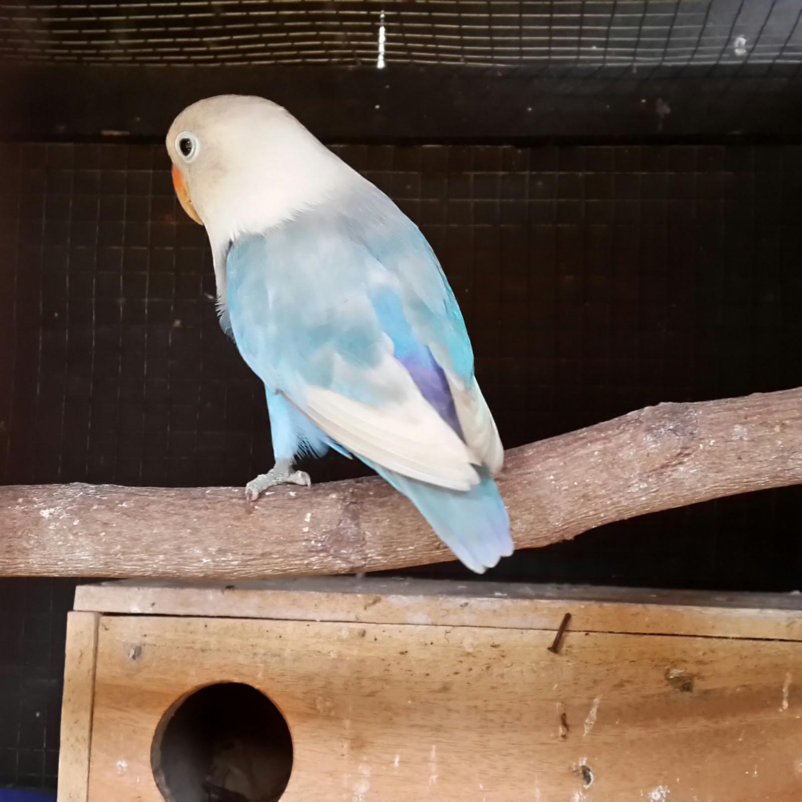 Lovebird biru - photo#42