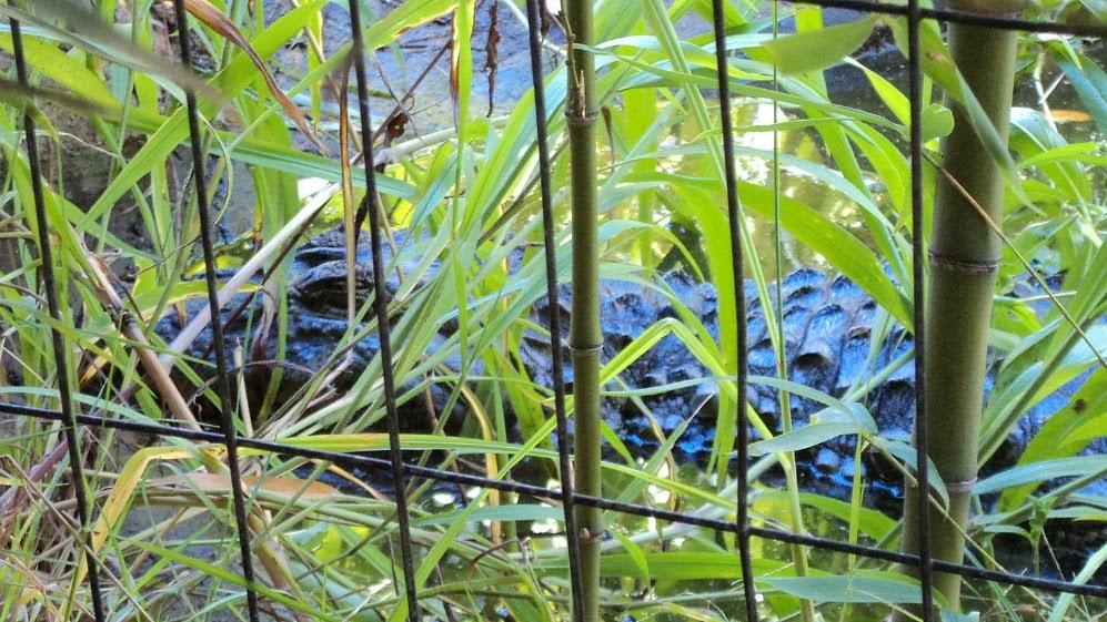Cabeça do Jacaré do Papa Amarelo no Gramado Zoo