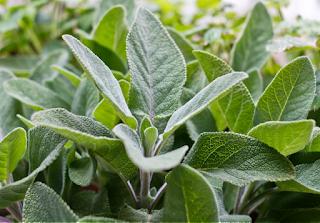 زراعة الميرمية في المنزل