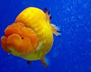 Gambar Ikan Mas Koki Telur