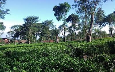 Wonosari Tea Plantation, A Place with Invigorating Air in Malang, beautiful scenery, vacation, family vacation, plantation, tea plantation