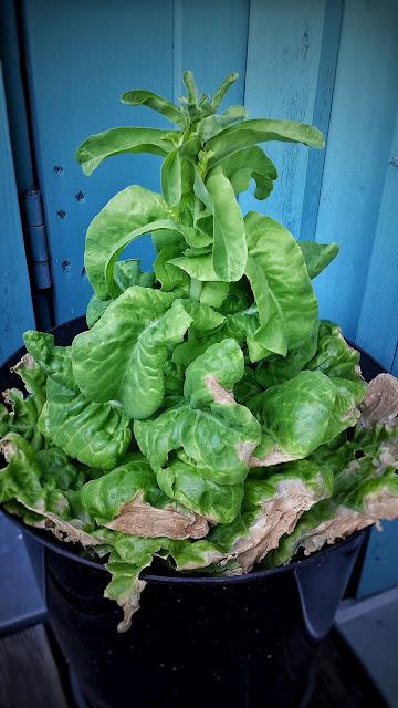 Salat Kübel