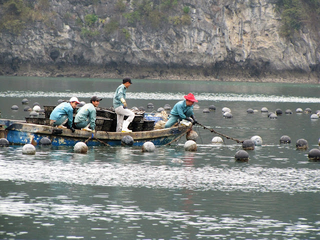 oyster fishing halong bay vietnam