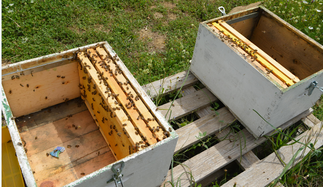 Κόψιμο μελισσιών χωρίς μεταφορές: Αυτά είναι τα μεγάλα μυστικά για να πετύχουν οι παραφυάδες