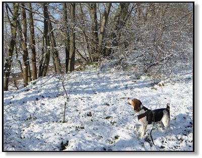 Beagle im Schnee