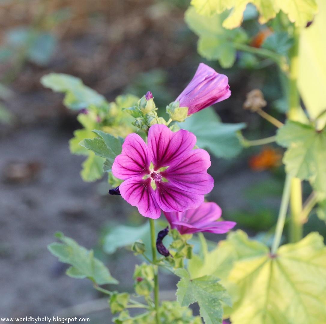 kwiaty w ogrodzie, zioła w ogrodzie, ślazówka, malwa, kwitnące zioła