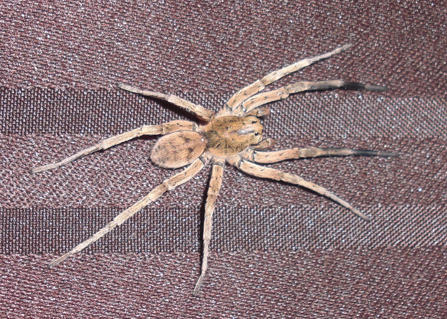 Submitted Pics - Wolf Spiders  Michigan Spiders-6290