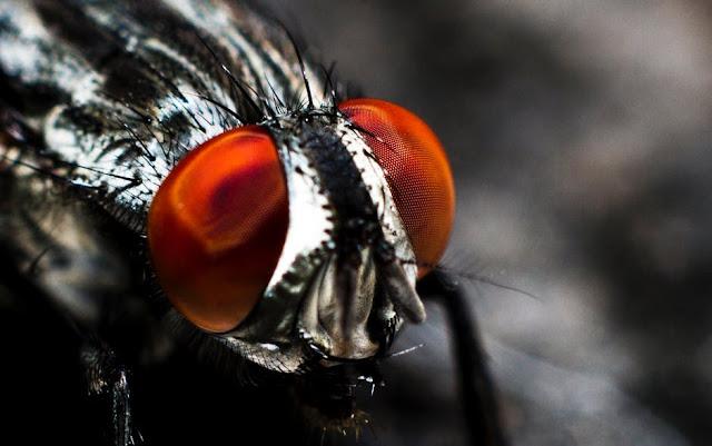 Fakta-Fakta Seru dan Menarik Dari Lalat yang Membuat Takjub