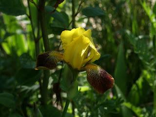 Iris échappé des jardins